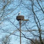 Storch am Mühlenbach
